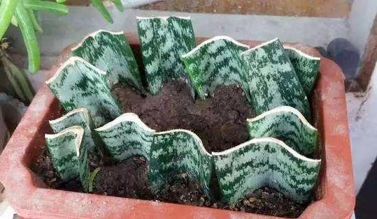 """虎皮兰不用买,摘片""""叶子""""插土里,30天长出绿盆栽!图片"""